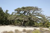 stock photo of akropolis  - old tree in Akropolis - JPG