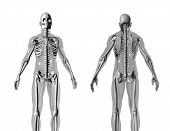 picture of human body  - Anatomically correct 3D model of human body isolated on white background - JPG