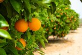 stock photo of prunes  - Oranges in a line of green trees - JPG