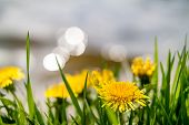 Yellow Dandelions On The Lake Shore. Yellow Summer Flowers With Green Grass And White Bokeh Blure. Y poster