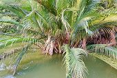 Palm Trees On The Water In Garden.(nypa,atap Palm,nipa Palm, Mangrove Palm) poster