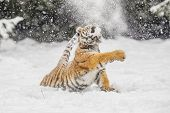 Siberian Tiger Jump In Snow In A Winter Taiga. Tiger In Wild Winter Nature. Danger Animal. Siberian  poster