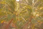 Green Background Of Palm Trees. Exotic Tropical Background. Palm Tree Or Grove, Top View Of Palm Tre poster