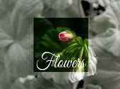 Geranium Flower , Houseplant Cultivation Flora Floristics Botany Nature Seasonal Concept Background  poster