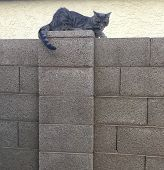 Gray Feral Tabby Cat With Green Eyes And A Tail With Black Stripes Sitting  On Top Of A Block Wall W poster