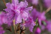 Flowers Of The Rhododendron Species Rhododendron Dauricum poster