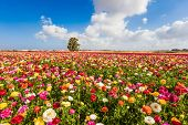 Kibbutz fields of flowering garden buttercups - ranunculus. Spring flowering. Lush cumulus clouds f poster