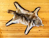 Stuffed Wolf Is Hanging On Wooden Wall. Scarecrow Of A Wolf, Hunting Trophy poster