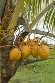 foto of naturist  - Coconuts on the palm - JPG