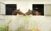 Two Brown Horses Look Out Through Stable Window And Show Affection poster