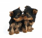 Cute Puppy Sniffs Nose Of Another Puppy. Both Are Puppies Of The Yorkshire Terrier. Isolated On Whit poster