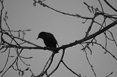 Bird Silhouette On The Sky Background. Bird Singing And Sitting On A Tree. Black And White Backgroun poster