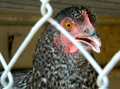 Evil Glare of the Hen