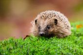 European Hedgehog, Erinaceus Europaeus, On A Green Moss At The Forest, Photo With Wide Angle. Hedgeh poster