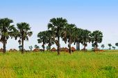 stock photo of mud-hut  - African huts and palm trees in the savannah Uganda - JPG