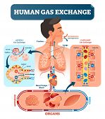 Human Gas Exchange System Vector Illustration. Oxygen Travel From Lungs To Heart, To All Body Cells  poster