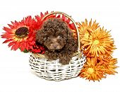 picture of chocolate poodle  - Chocolate Poodle Puppy with fall colored flowers on a white background - JPG