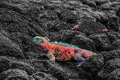 Christmas Iguana on Espanola Island on Galapagos Islands. Male Marine Iguana with Sally Lightfoot Cr poster