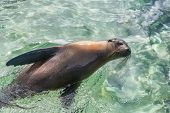 Galapagos Sea Lion in swimming in ocean on Galapagos Islands. Animals and wildlife nature on Galapag poster