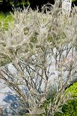 image of cocoon tree  - Tree coated with webs with cocoons of caterpillars - JPG