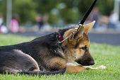 picture of choke  - A German Shepard puppy laying in the grass with the choke chain and leash leading up the the upper right corner - JPG