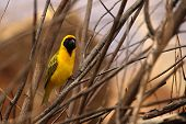 The Southern Masked Weaver Or African Masked Weaver (ploceus Velatus) Sitting In The Grass. Southern poster