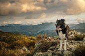 A Black & White Border Collie Sheepdog Standing On A Rock In The Mountains Of Corsica Under Late Aft poster