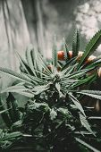 Weed For Recreational Purposes. Indoor Method Of Growing Cannabis.bloom Of Cannabis. Indoor Grow Can poster