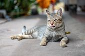 Portrait Of Striped Cat, Close Up Thai Cat, Close Relax Cat poster