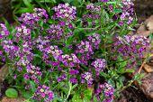 Lobularia Blossom With Purple Flowers. Garden Decorative Flowering Plant, Garden Decoration. Backgro poster
