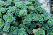Sedum Is A Green Emerald Succulent Plant. Fresh Natural Stonecrop Bush Bright Sunny In Nature. Thick poster