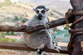 Single Ring-tailed Lemur, Lemur Catta, Sits On A Branch In A Zoological Garden. poster