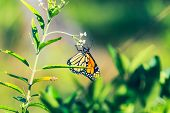 Nature Background Butterfly. Monarch Butterfly Insect In Nature. Nature Insect Butterfly On White Fl poster