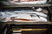 Chilled Fish Heads Are Laid Out For Processing And Packaging At The Factory. poster