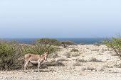 Wild Animals Of The Desert. Asian Wild Donkey - Kulan In Natural Habitat, Oman, Aug.2018 poster