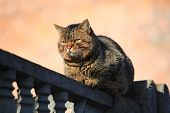 Fat сat With Thick Cheeks And Dense Wool Is Sitting On The Fence. A Well-fed Cat Enjoys His Carefree poster