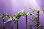Marijuana Bush Under The Lamps. Growing Cannabis Plant Indoors Under Artificial Lighting... poster