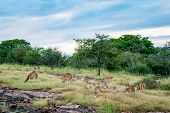 Wildlife Scenery Of Ranthambore Landscape With Spotted Deer Or Chital Herd, Dramatic Blue Sky With C poster