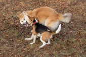 Cute English Beagle Puppy And Akita Inu Puppy Are Playing In The Autumn Park. Pet Animals. poster