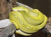 image of tree snake  - A Green Tree Python Coiled on a Branch After Shedding its Skin - JPG