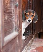 stock photo of puppy beagle  - Portrait of a cute Beagle puppy sitting on doorstep - JPG