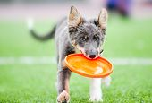 stock photo of frisbee  - Little border collie puppy running with Frisbee toy - JPG