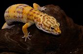 stock photo of albinos  - beautiful adult female Tremper albino leopard gecko  - JPG