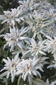 foto of edelweiss  - Bunch of Blooming Edelweiss Flowers in Gstaad - JPG