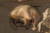 image of armadillo  - Sleeping armadillo  - JPG