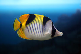stock photo of butterfly fish  - Fish - JPG