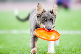 picture of frisbee  - Little border collie puppy running with Frisbee toy - JPG