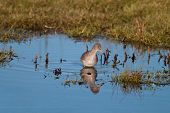 stock photo of marshlands  - A Red Shank  - JPG