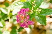 foto of lantana  - Lantana or Wild sage against nature background Lantana camara L - JPG