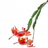 pic of schlumbergera  - Blooming Christmas Cactus Schlumbergera isolated on white background - JPG